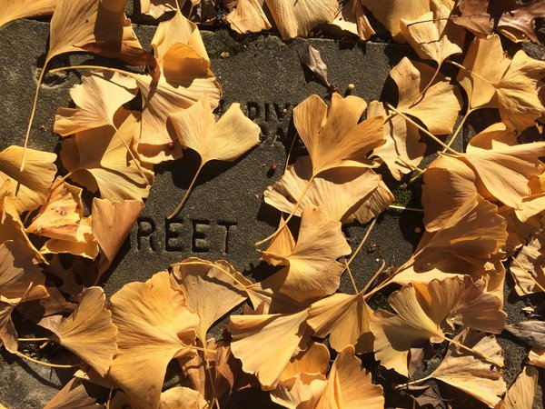 Ginkgo leaves in Fall thumbnail