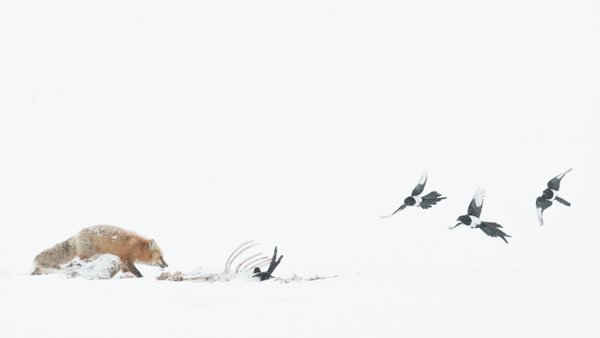 Red fox on carcass thumbnail