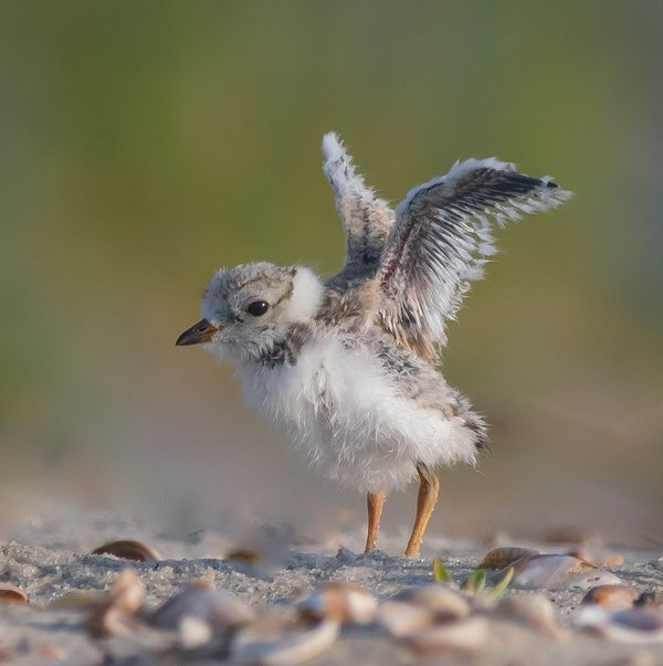 Piping Plover Chick thumbnail