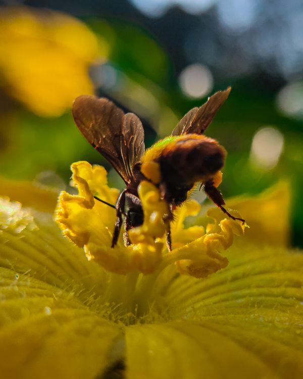 Bee sucking nectar thumbnail