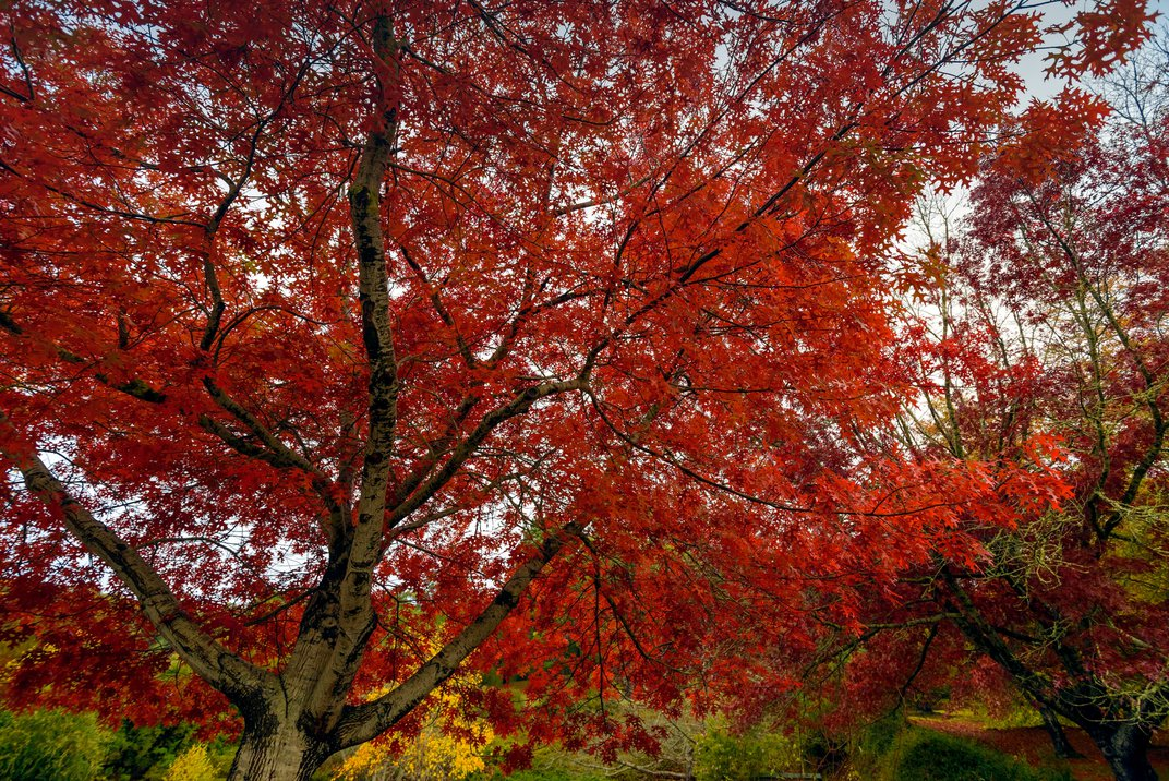 The red maple's leaves produce pigments that turn them red because of a chemical change.