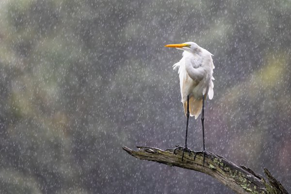 Great Egret Caught in the Rain thumbnail