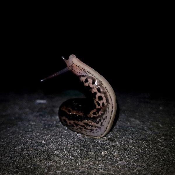 Slug doing stretching exercises at night, Krakow, Poland thumbnail