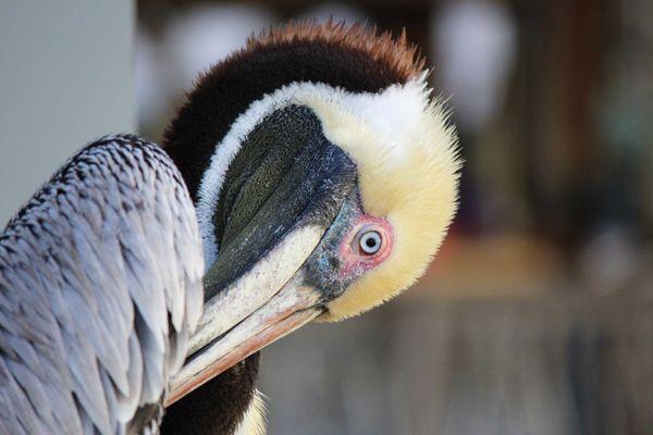 Pelican grooming time thumbnail