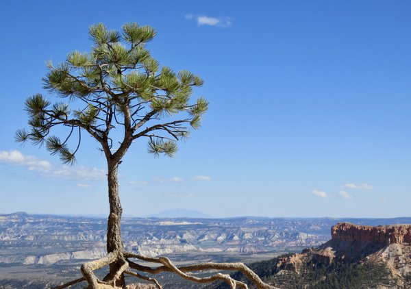Tree Hanging on at Bryce Canyon thumbnail