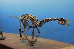 20110520083148falcarius-utah-museum-300x201.jpg