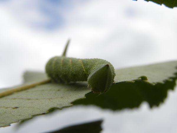Hornworm thumbnail