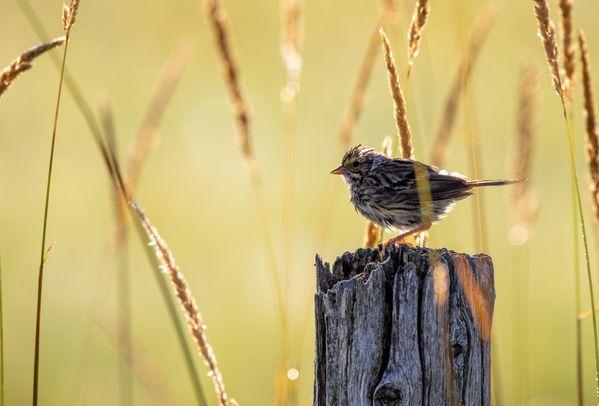 Savannah Sparrow in Morning thumbnail