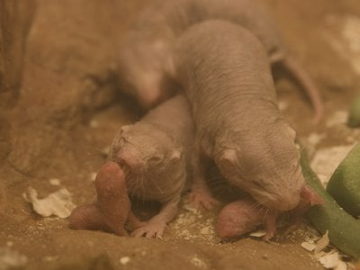 """The """"Game of Thrones'"""" Red Wedding has nothing on naked mole-rats"""