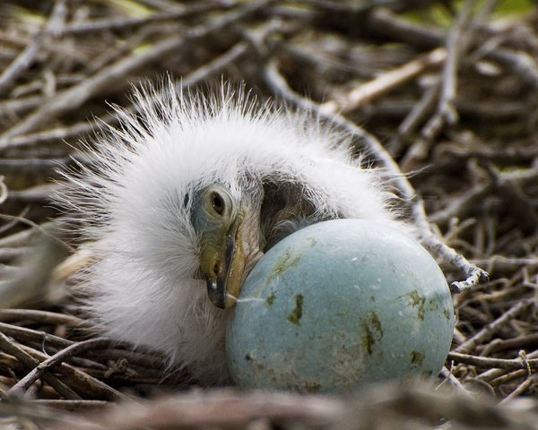 Just-hatched egret chick with egg. thumbnail