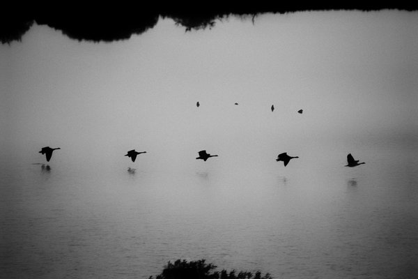 Canadian Geese landing on water in formation thumbnail