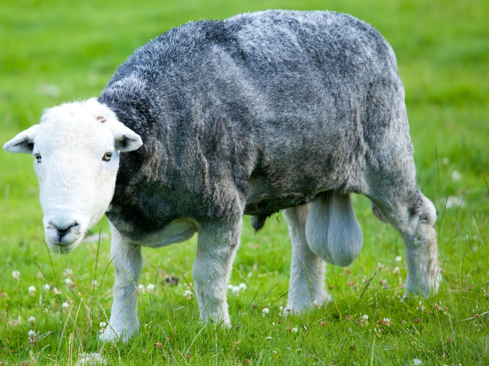sheep like most mammals have descended testes