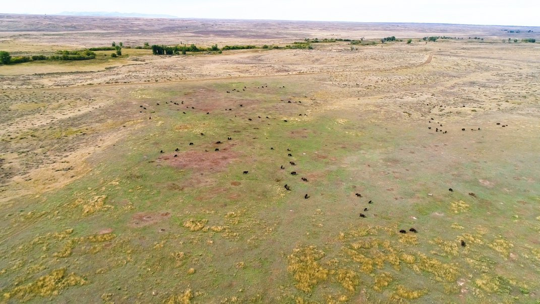 An aerial photo of a herd of bison grazing on grasses near a prairie dog town. Holes where prairie dogs have dug their burrows can be seen across the landscape.