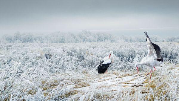 Apocrypha (Storks) thumbnail