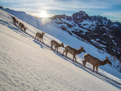 Of the roughly 900,000 Rocky Mountain elk in North America, some 20,000 migrate through the Greater Yellowstone Ecosystem.