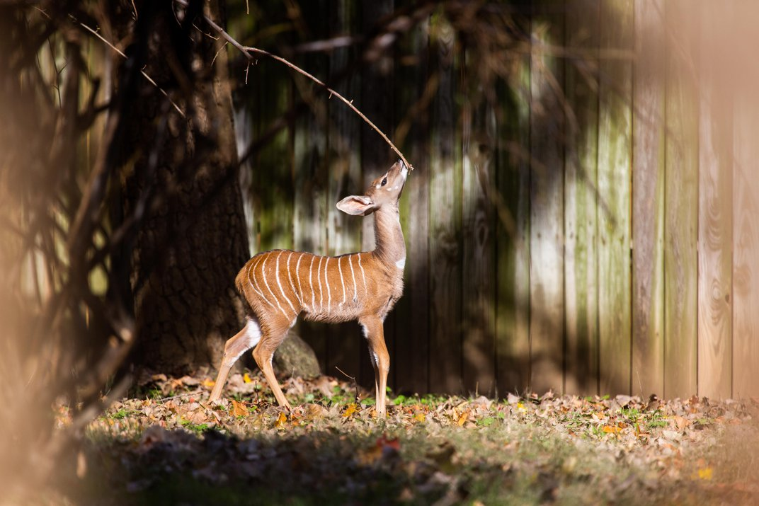 Baby kudu