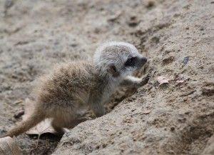 Baby-Murdering Meerkat Alpha Females Enslave Subordinates As Wet Nurses