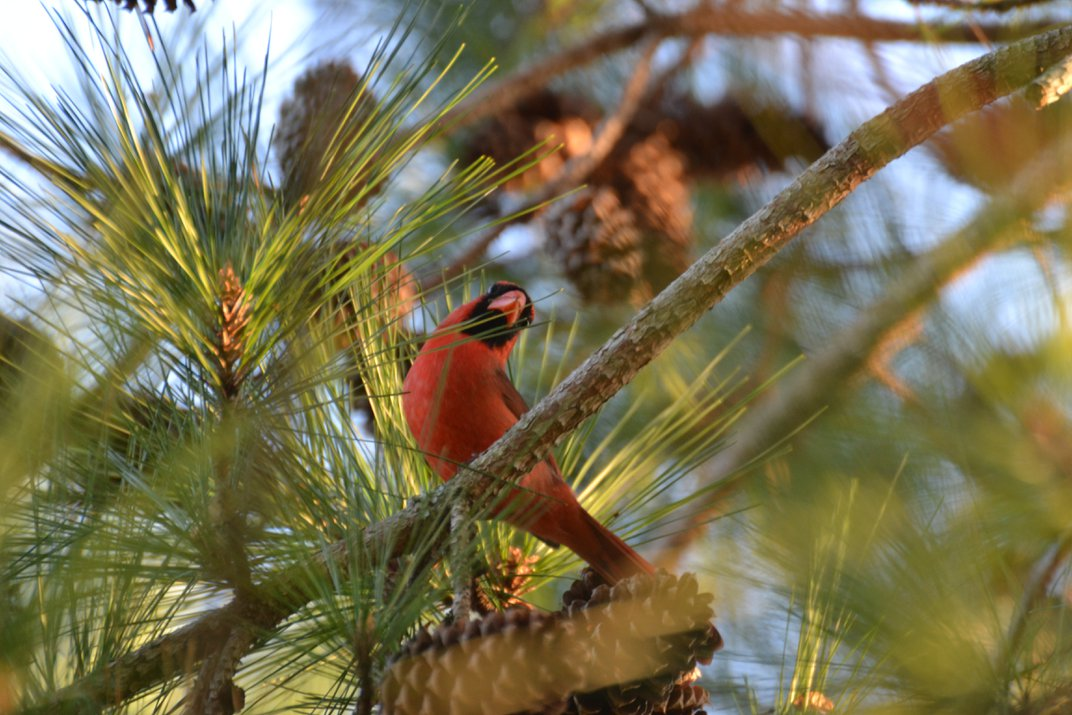 Cardinals moment in the Pines at the Plantation Palms Golf ...