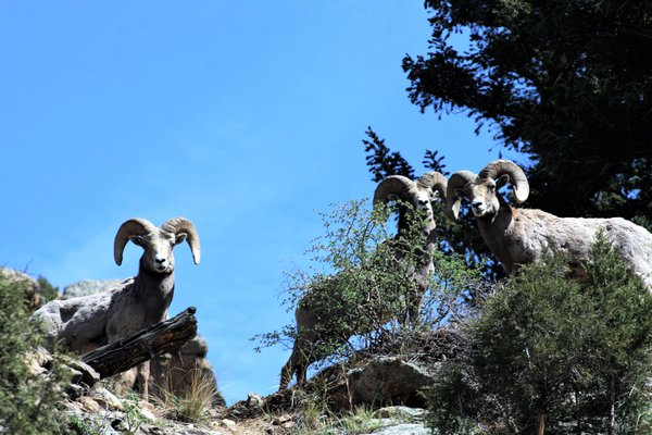 Three Bighorn Sheep on hillside thumbnail