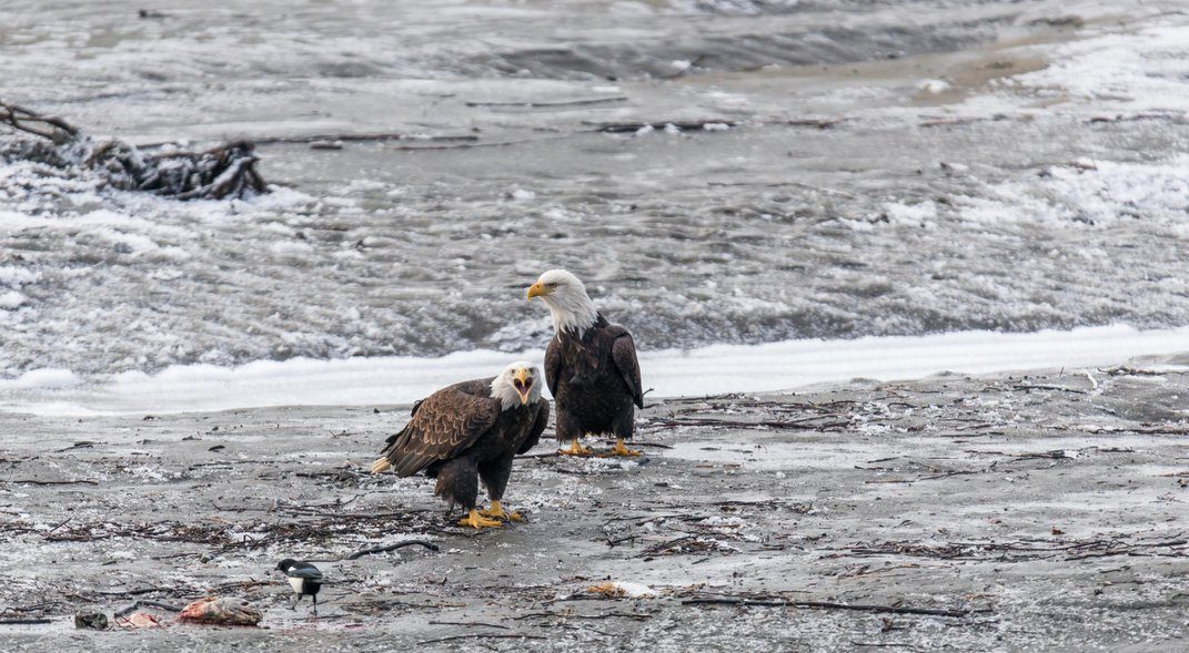 Behold the Largest Congregation of Bald Eagles in the United States