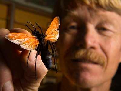 Entomologist Justin O. Schmidt holds the notorious tarantula hawk, one of the only creatures to rate a 4 on his pain index.