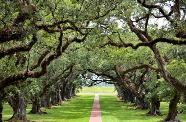 300 hundred year old oaks of Oak Alley thumbnail