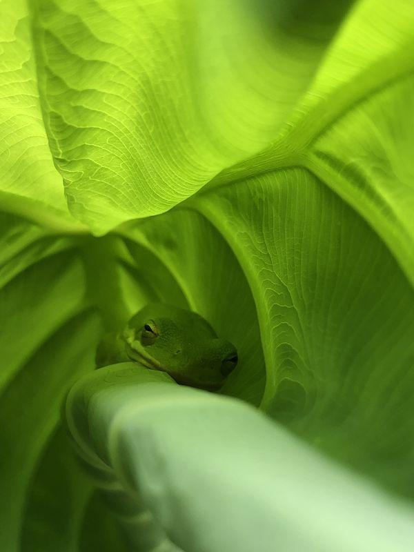 Groggy Frog thumbnail