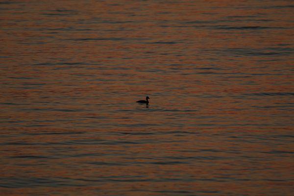 Duck in the twilight sea thumbnail