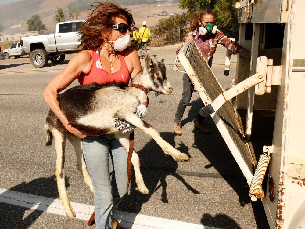 Woman carries goat to safety.