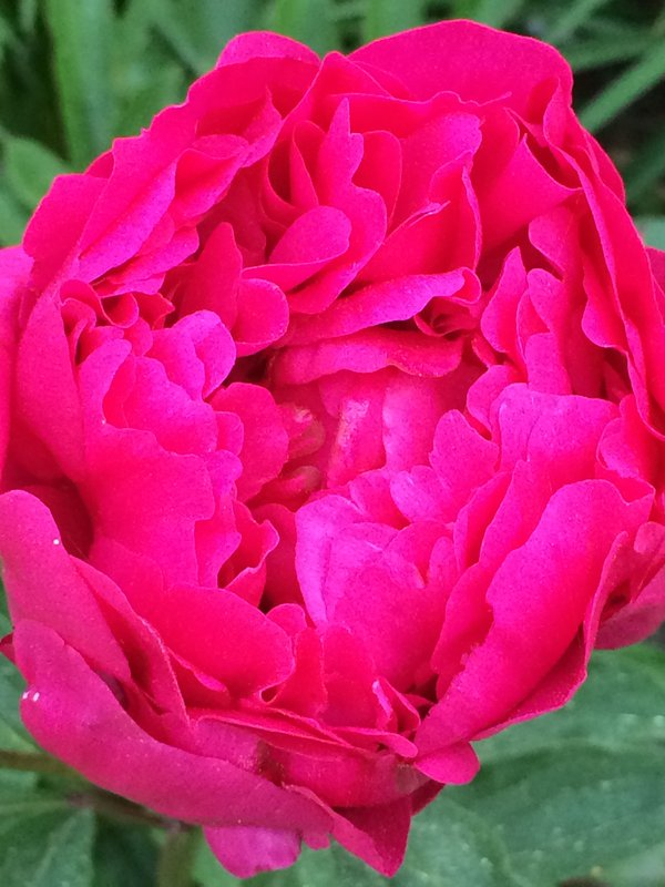 peony bloom from the garden, Marion, MA thumbnail