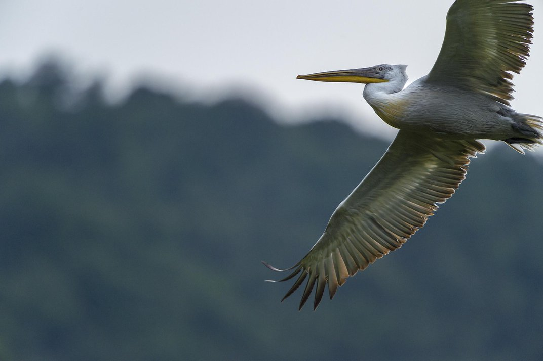 How Floating Nests May Save One of the World's Largest Water Birds
