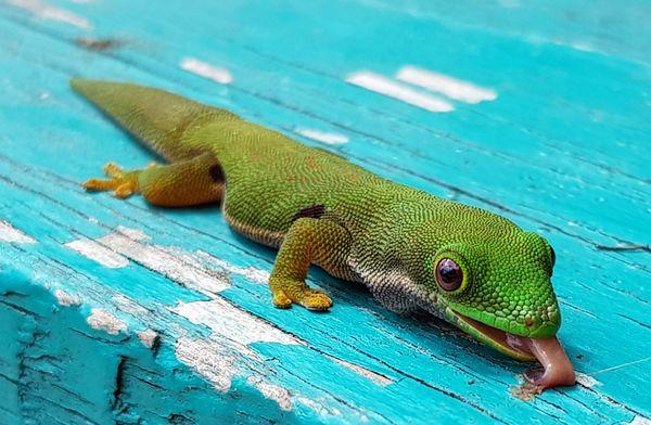 Licking Gecko thumbnail