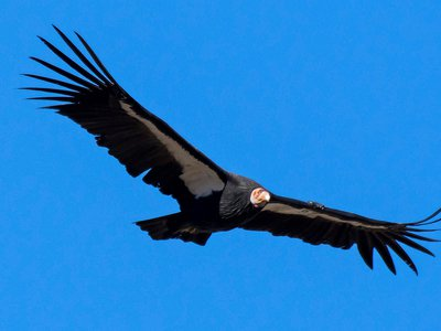 A California condor photographed in Tehachapi, California where this past week a group of the endangered raptors descended on a woman's back porch.