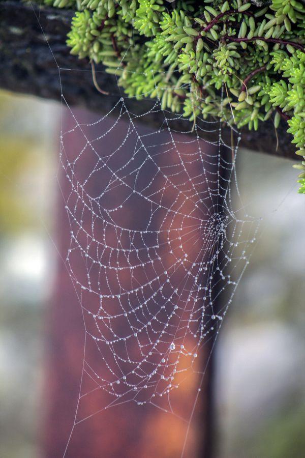 Spider's Dew at Dawn thumbnail