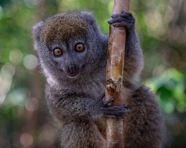 Bamboo Lemur in Madagascar thumbnail