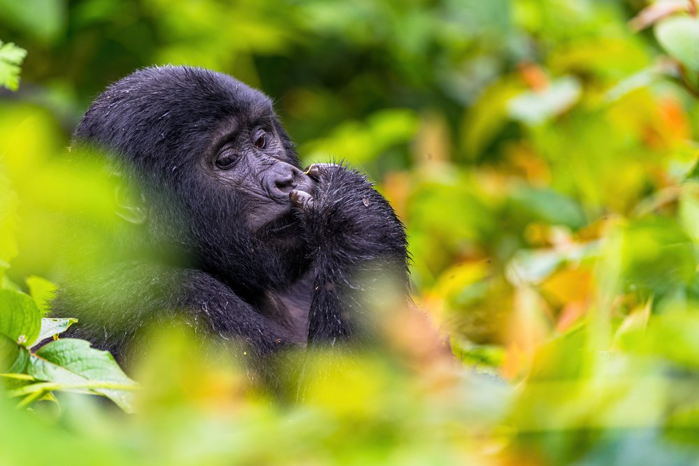 A female mountain gorilla rests on a bush surrounded with orange and yellow leaves in the Bwindi Impenetrable Forest.