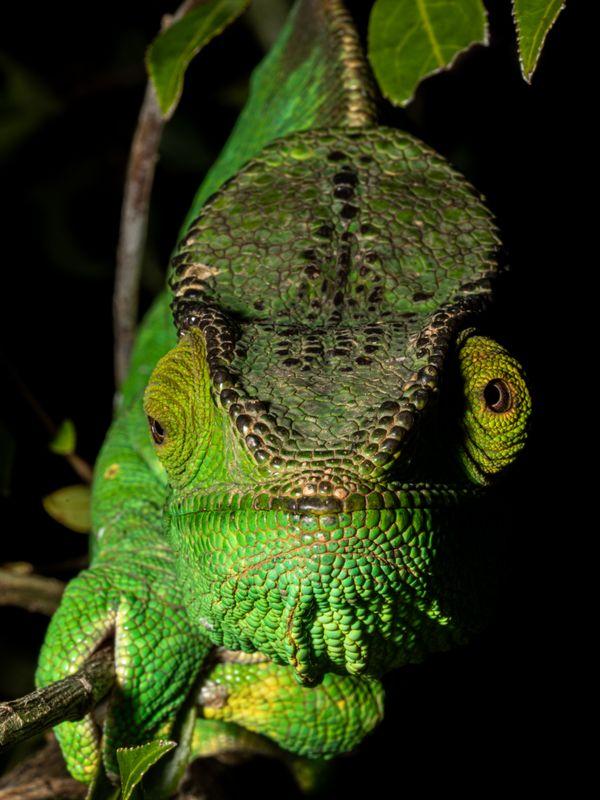 Scaring Chameleon thumbnail