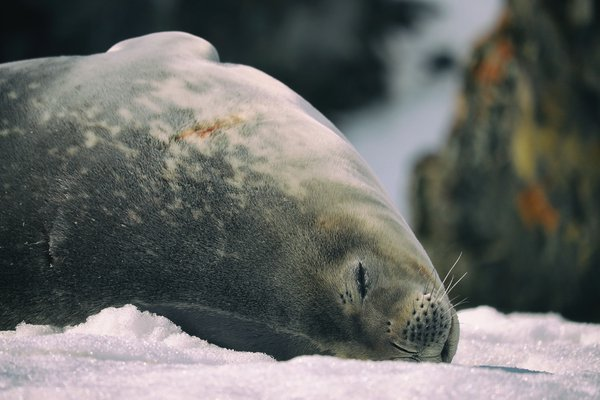 Sleepiest Seal to Rule the Ice thumbnail
