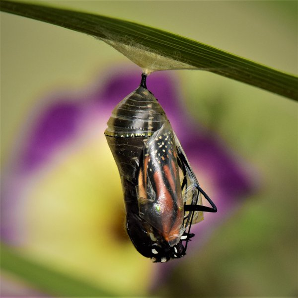 Riley's Chrysalis Emerging thumbnail