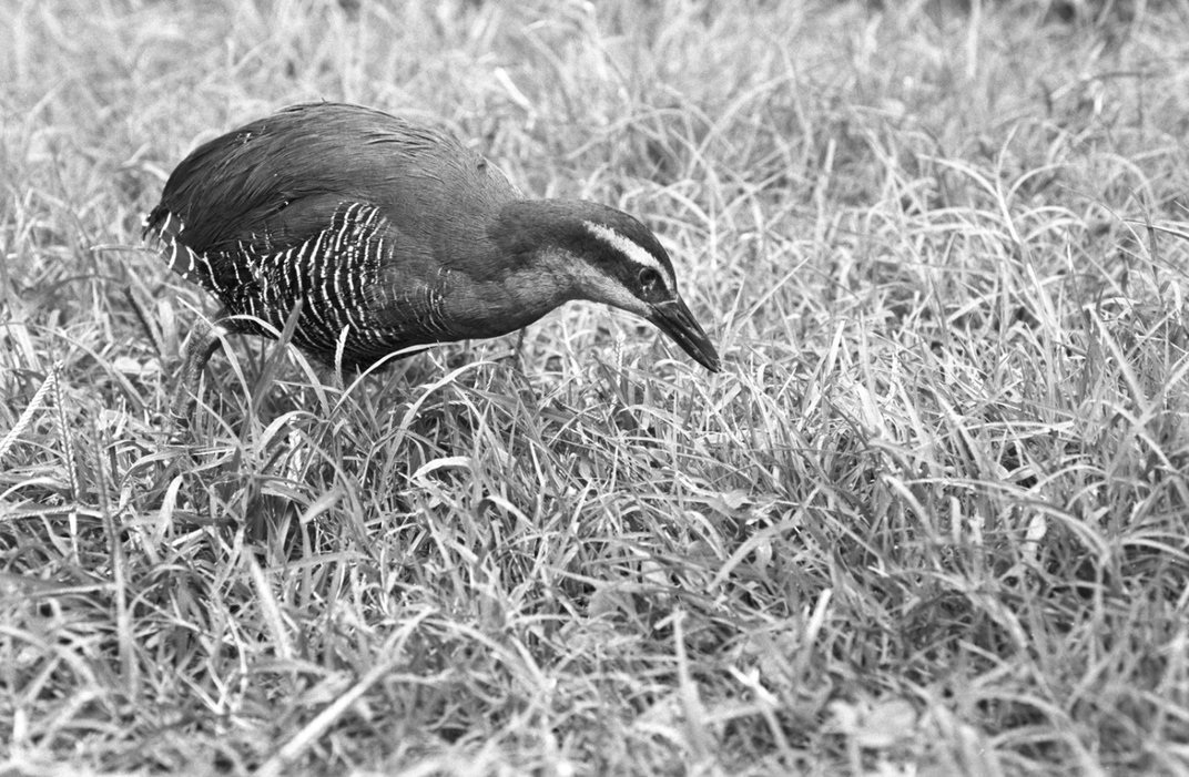 A grayscale photo of a bird, called a Guam rail, walking through grass at the Smithsonian Conservation Biology Institute in Front Royal, Virginia