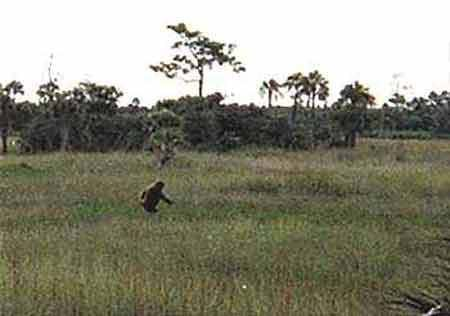 On the Trail of Florida's Bigfoot—the Skunk Ape
