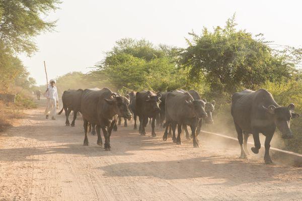 Herding cattle thumbnail