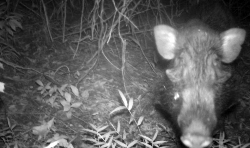Watch Rare Footage of the Elusive Javan Warty Pig in the Wild