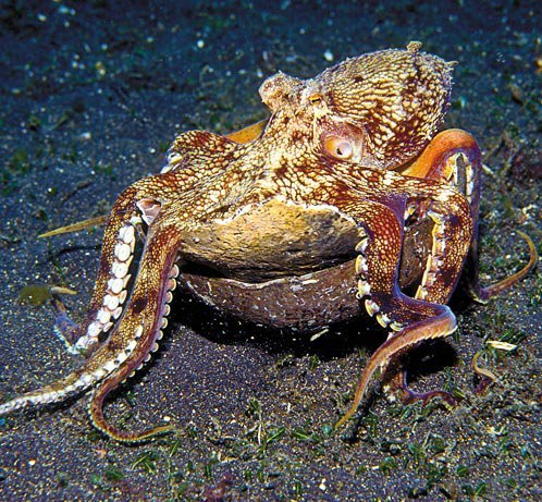 Veined octopuses
