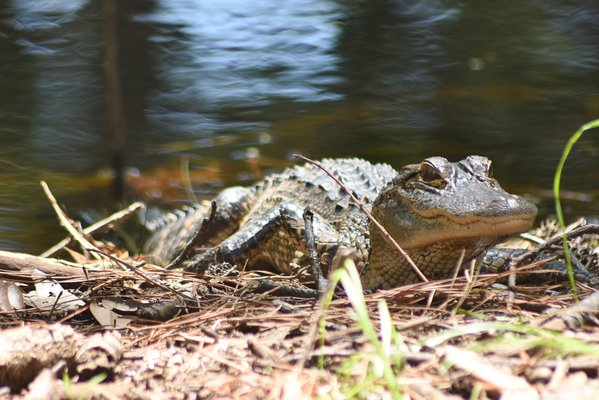 Alligator Sunbathing thumbnail