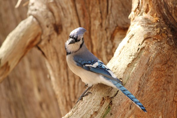 Bluejay in the Forest thumbnail