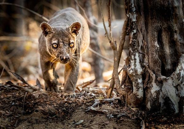 Fossa, Madagascar thumbnail