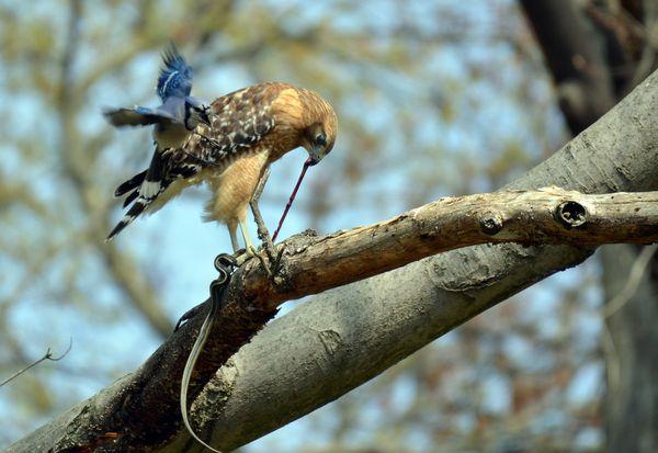 Blue jay mobbing red shouldered hawk eating a snake thumbnail