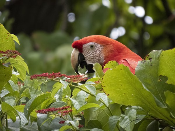 Scarlet Macaw in field of green thumbnail