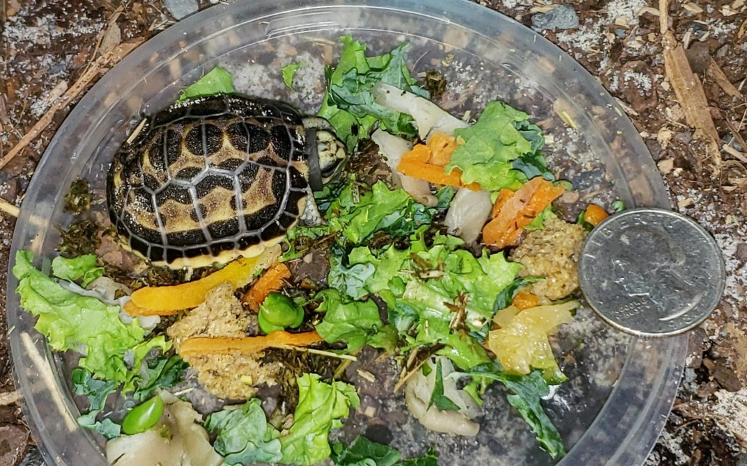 A spider tortoise hatchling stands in a small dish surrounded by fresh greens to eat. A quarter placed on the side of the dish shows that the hatchling is only slightly larger than a quarter.